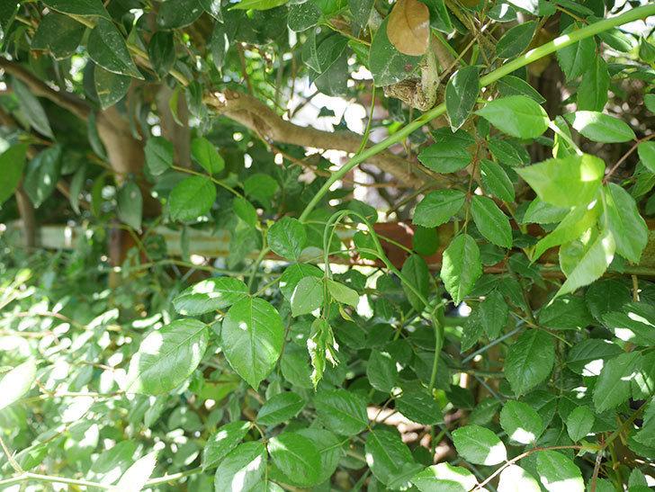 シティ・オブ・ヨーク(ツルバラ)新枝が1本バラクキバチにやられて萎れた。2019年-2.jpg