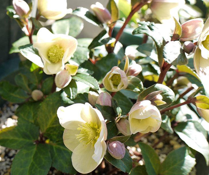 シナモンスノーの花がさらに咲いた。2017年-1.jpg