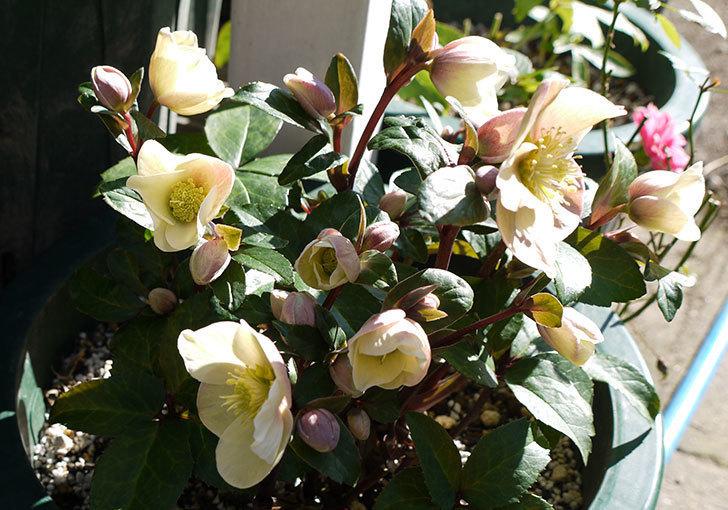 シナモンスノーの花がさらに咲いた。2017年-2.jpg