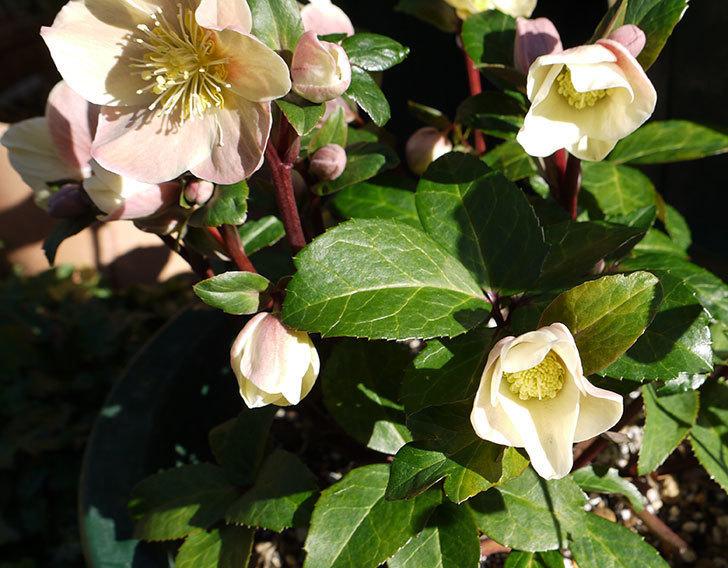 シナモンスノーの花がさらに咲いた。2017年-4.jpg
