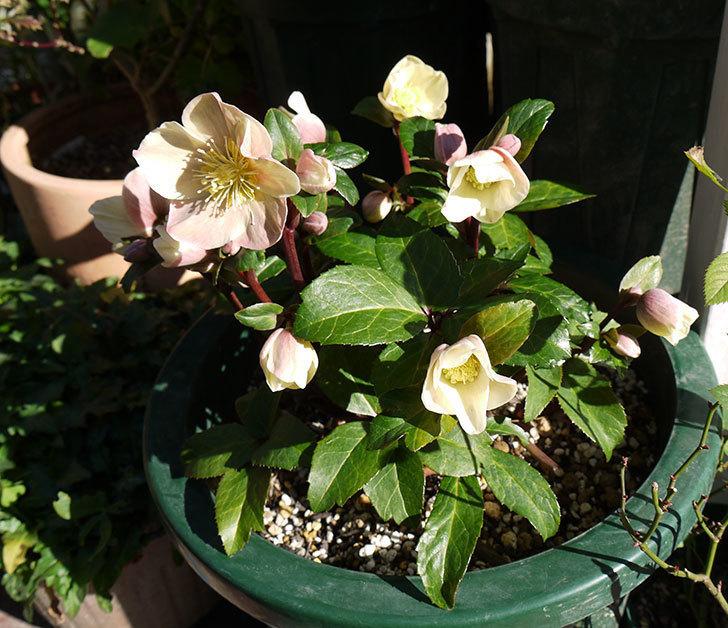 シナモンスノーの花がさらに咲いた。2017年-5.jpg
