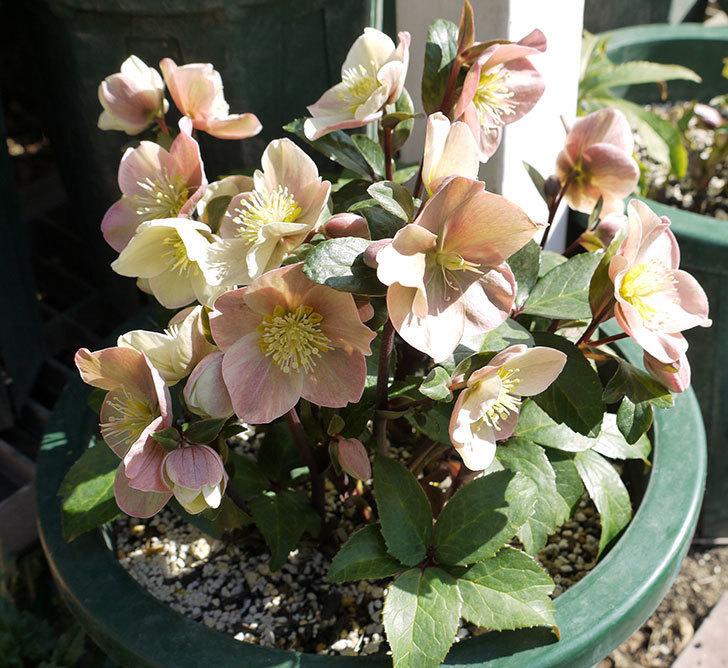 シナモンスノーの花がさらに増えた。2017年-1.jpg