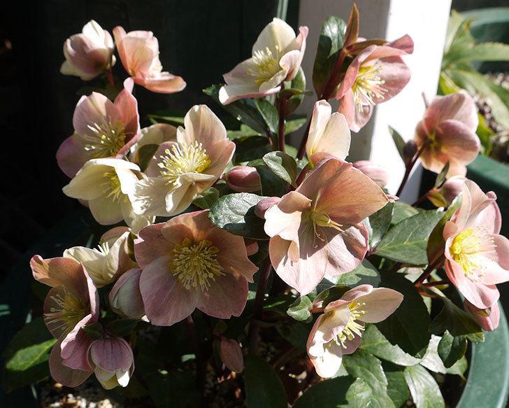 シナモンスノーの花がさらに増えた。2017年-4.jpg
