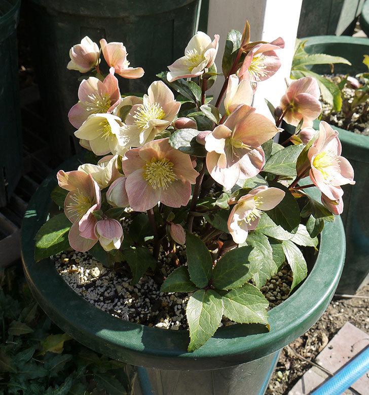 シナモンスノーの花がさらに増えた。2017年-5.jpg