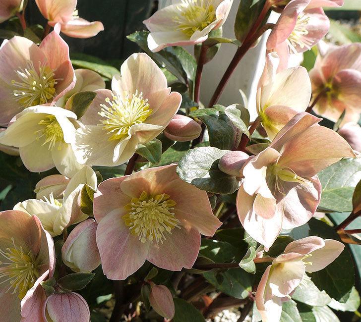 シナモンスノーの花がさらに増えた。2017年-6.jpg
