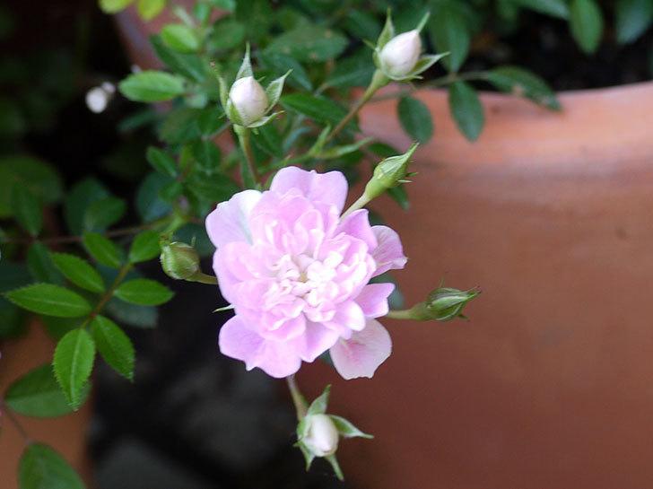 シノブ(ミニバラ)の花が咲き出した。2016年-1.jpg