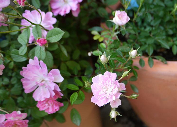 シノブ(ミニバラ)の花が咲き出した。2016年-3.jpg