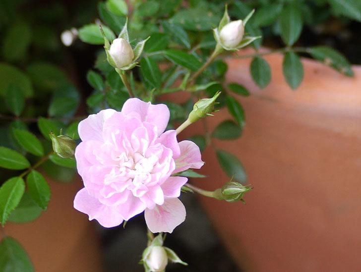 シノブ(ミニバラ)の花が咲き出した。2016年-5.jpg