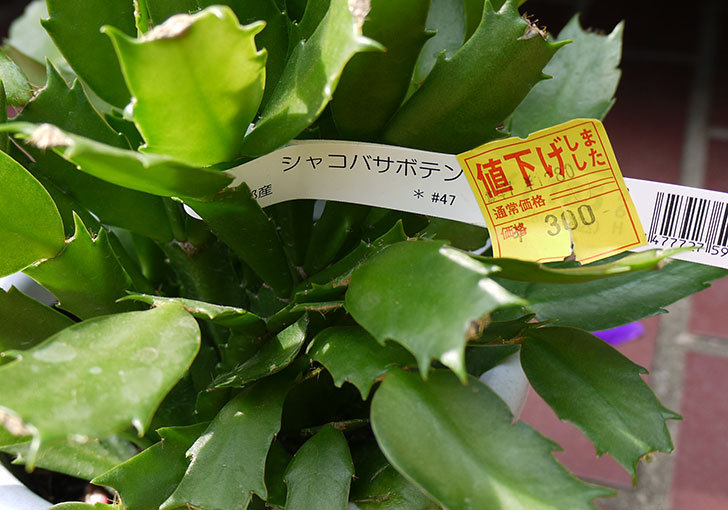 シャコバサボテン(蝦蛄葉サボテン)がホームズで300円だったので買って来た3.jpg
