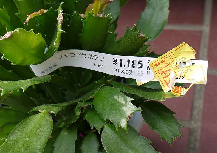 シャコバサボテン(蝦蛄葉サボテン)がホームズで300円だったので買って来た4.jpg