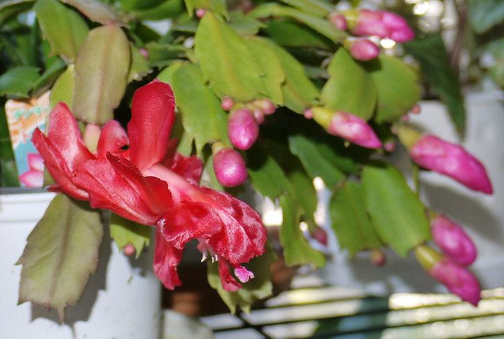 シャコバサボテン(蝦蛄葉サボテン)が咲き始めた3.jpg