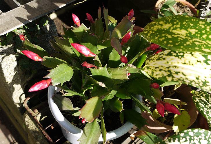 シャコバサボテン(蝦蛄葉サボテン)が咲き始めた5.jpg