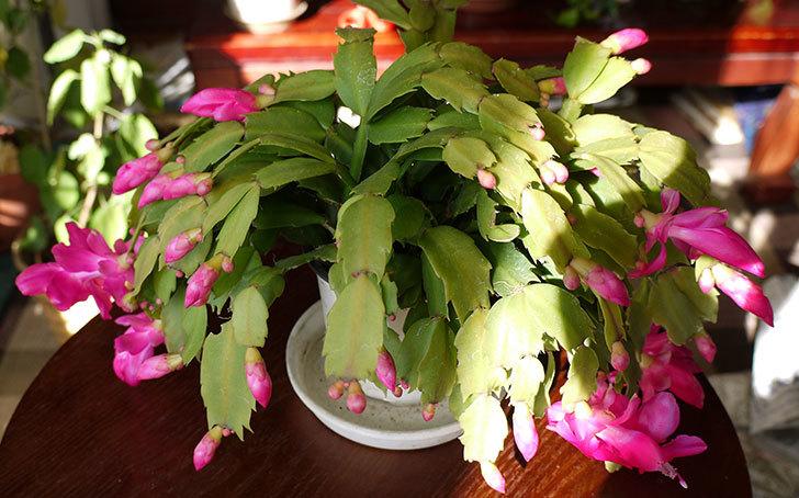 シャコバサボテン(蝦蛄葉サボテン)が更に咲いた2.jpg