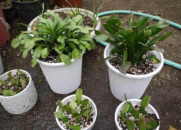 シャコバサボテン(蝦蛄葉サボテン)の植え替えと葉摘みとさし芽をした2.jpg