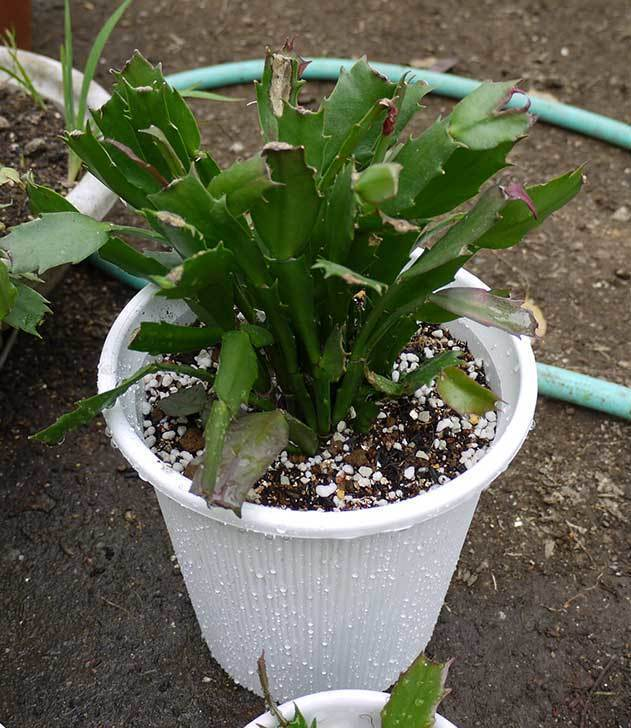 シャコバサボテン(蝦蛄葉サボテン)の植え替えと葉摘みとさし芽をした3.jpg