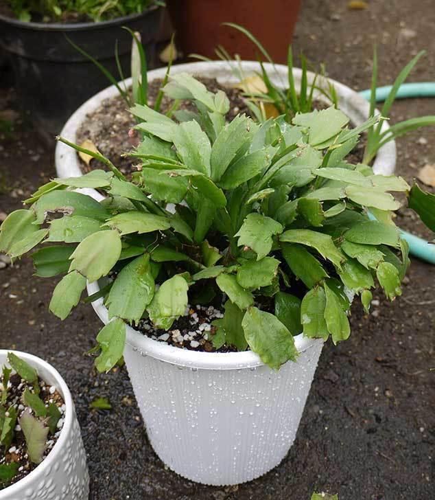 シャコバサボテン(蝦蛄葉サボテン)の植え替えと葉摘みとさし芽をした4.jpg