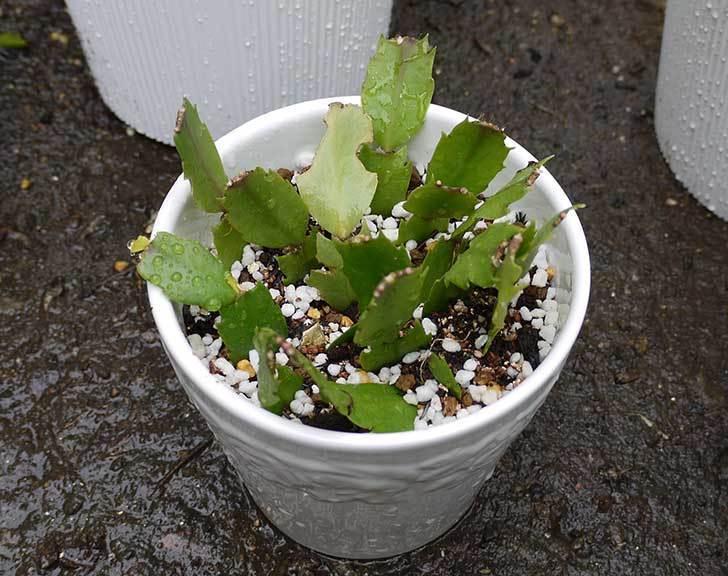 シャコバサボテン(蝦蛄葉サボテン)の植え替えと葉摘みとさし芽をした6.jpg