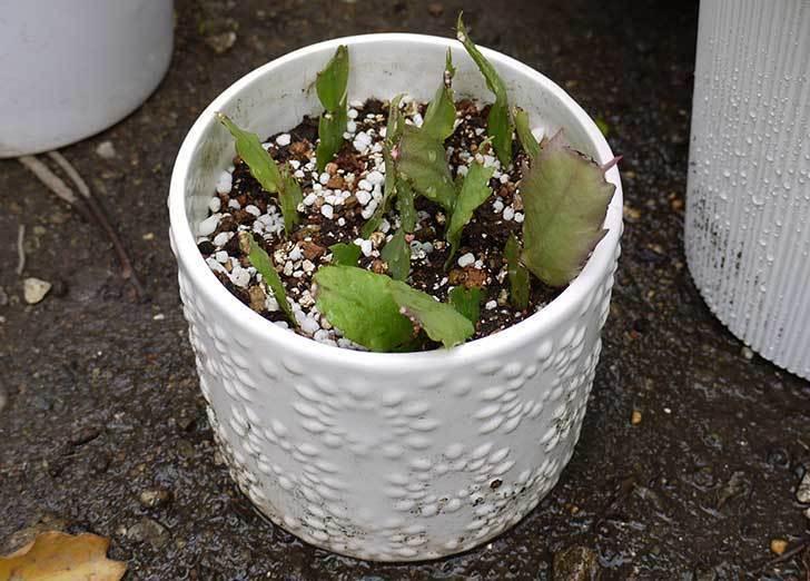 シャコバサボテン(蝦蛄葉サボテン)の植え替えと葉摘みとさし芽をした7.jpg