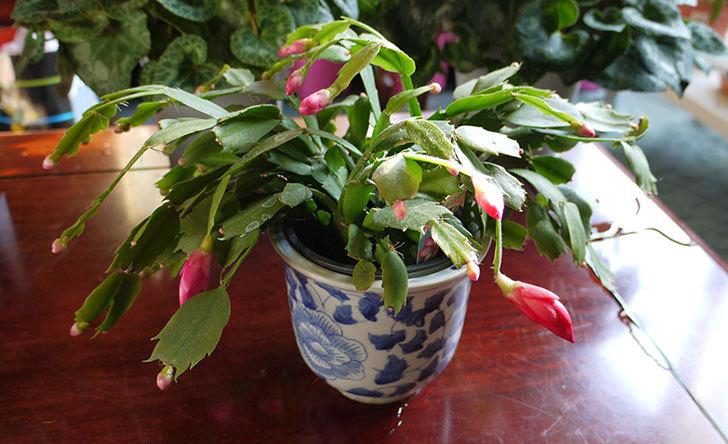 シャコバサボテン(蝦蛄葉サボテン)の花が咲いた1.jpg