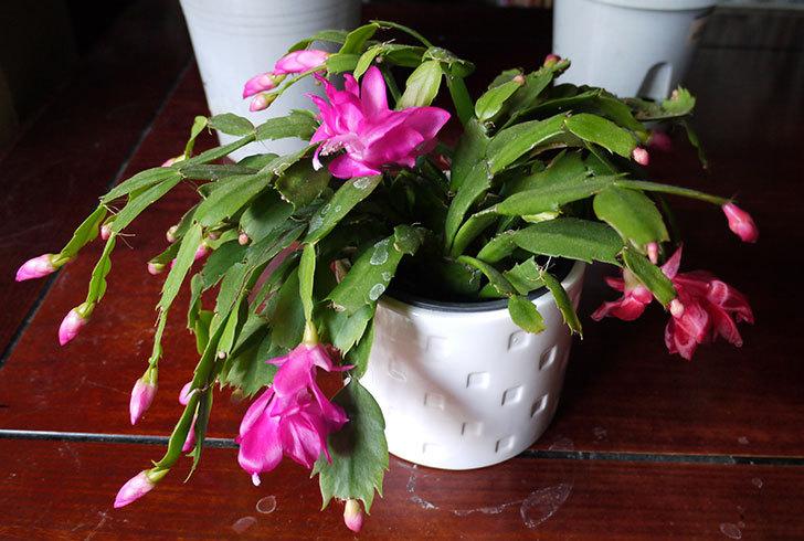 シャコバサボテン(蝦蛄葉サボテン)の花が咲いた2.jpg