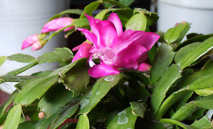 シャコバサボテン(蝦蛄葉サボテン)の花が咲いた3.jpg
