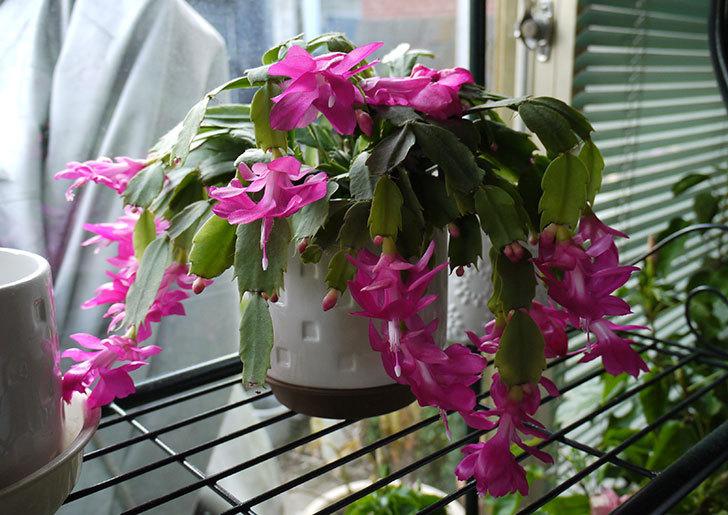 シャコバサボテン(蝦蛄葉サボテン)の花が満開になった1.jpg