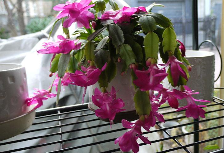 シャコバサボテン(蝦蛄葉サボテン)の花が満開になった2.jpg