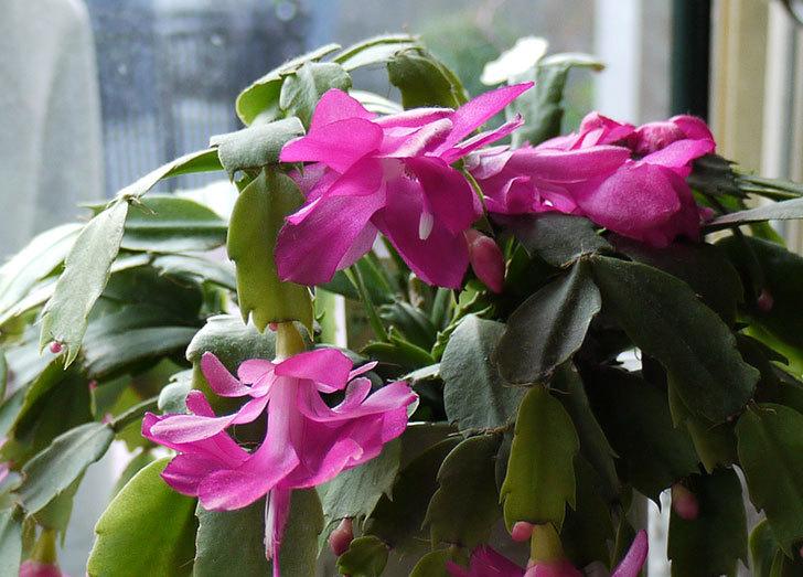 シャコバサボテン(蝦蛄葉サボテン)の花が満開になった3.jpg