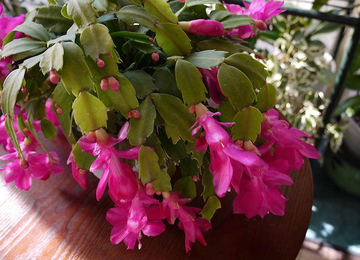 シャコバサボテン(蝦蛄葉サボテン)の花が満開になった。2015-1.jpg