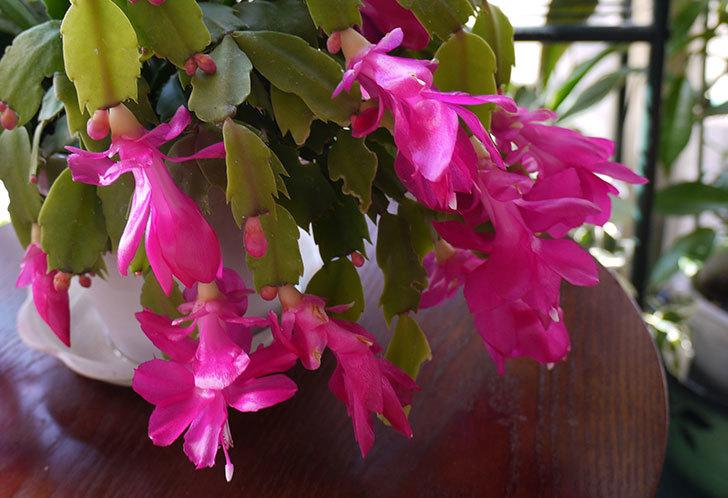 シャコバサボテン(蝦蛄葉サボテン)の花が満開になった。2015-4.jpg