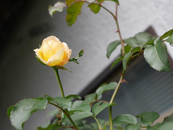シャトー・ドゥ・シュベルニー(Chateau de Cheverny)の新苗に秋花が咲いた。半ツルバラ。2020年-001.jpg