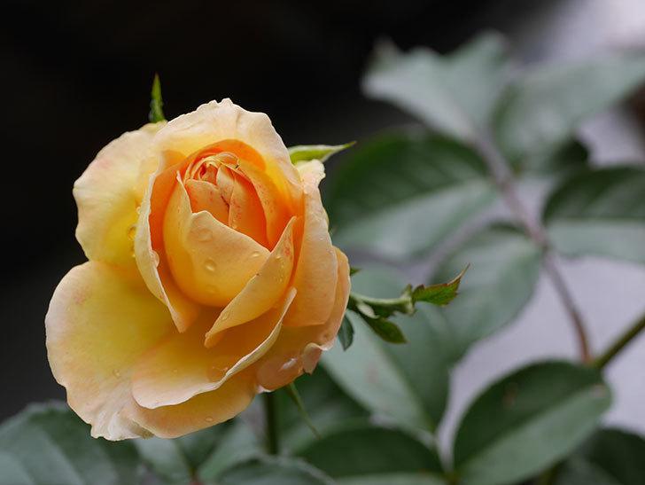 シャトー・ドゥ・シュベルニー(Chateau de Cheverny)の新苗に秋花が咲いた。半ツルバラ。2020年-003.jpg