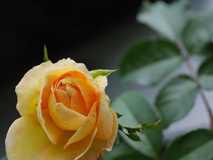シャトー・ドゥ・シュベルニー(Chateau de Cheverny)の新苗に秋花が咲いた。半ツルバラ。2020年-007.jpg