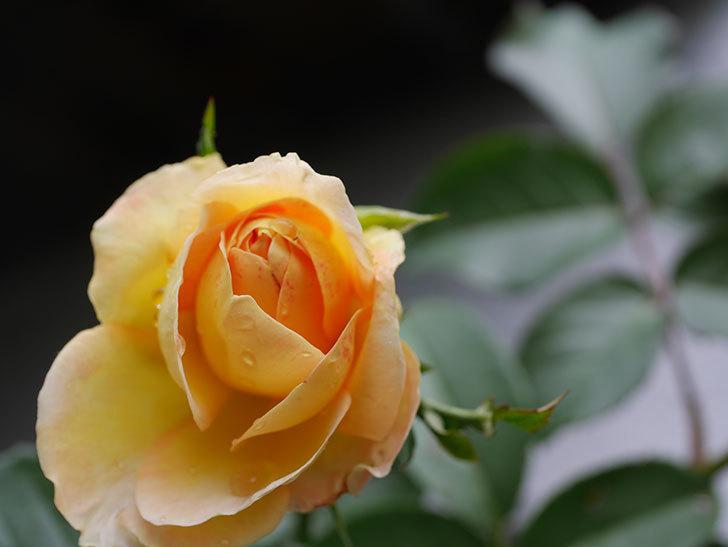 シャトー・ドゥ・シュベルニー(Chateau de Cheverny)の新苗に秋花が咲いた。半ツルバラ。2020年-008.jpg