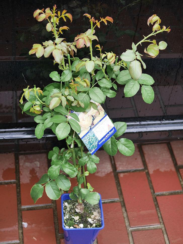シャトー・ドゥ・シュベルニー(Chateau de Cheverny)の新苗を買った。半ツルバラ。2020年-001.jpg