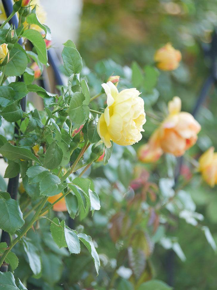 シャトー・ドゥ・シュベルニー(Chateau de Cheverny)の花が咲いた。半ツルバラ。2021年-001.jpg