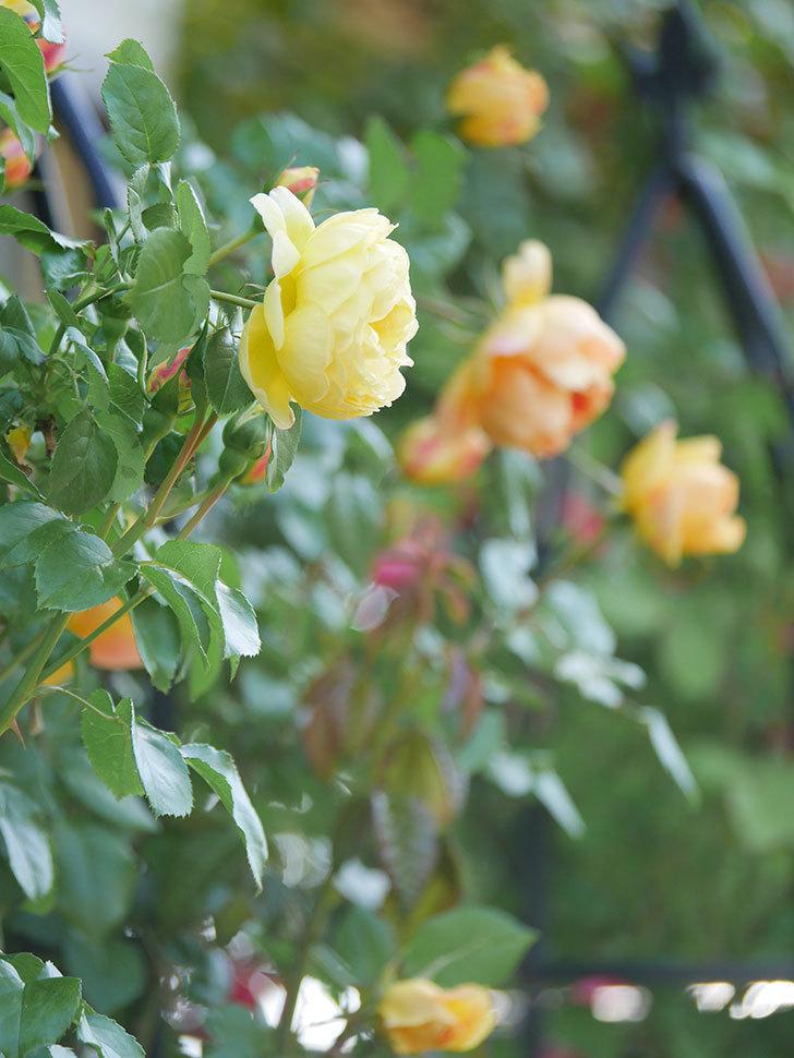 シャトー・ドゥ・シュベルニー(Chateau de Cheverny)の花が咲いた。半ツルバラ。2021年-002.jpg