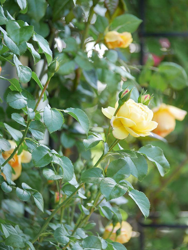シャトー・ドゥ・シュベルニー(Chateau de Cheverny)の花が咲いた。半ツルバラ。2021年-003.jpg