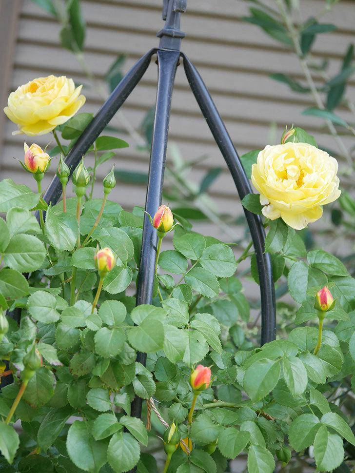 シャトー・ドゥ・シュベルニー(Chateau de Cheverny)の花が咲いた。半ツルバラ。2021年-005.jpg