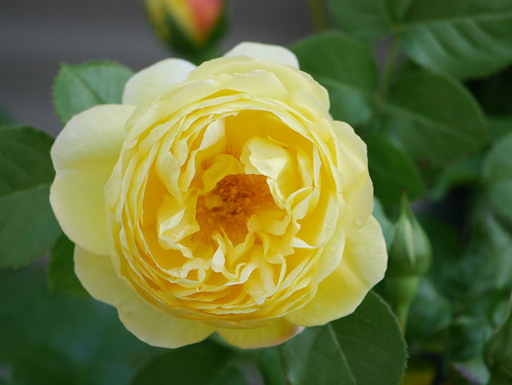 シャトー・ドゥ・シュベルニー(Chateau de Cheverny)の花が咲いた。半ツルバラ。2021年-006.jpg