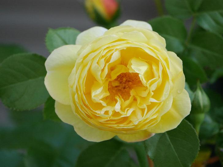 シャトー・ドゥ・シュベルニー(Chateau de Cheverny)の花が咲いた。半ツルバラ。2021年-007.jpg