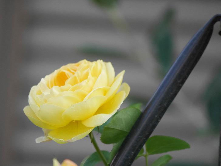 シャトー・ドゥ・シュベルニー(Chateau de Cheverny)の花が咲いた。半ツルバラ。2021年-008.jpg