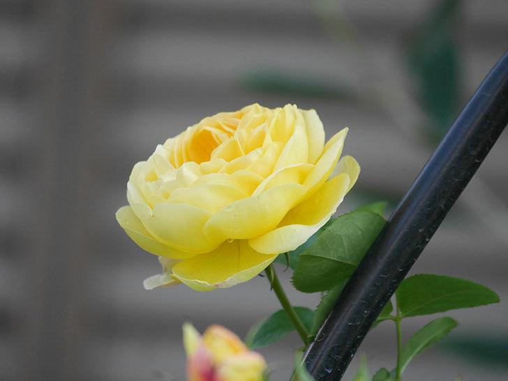 シャトー・ドゥ・シュベルニー(Chateau de Cheverny)の花が咲いた。半ツルバラ。2021年-009.jpg