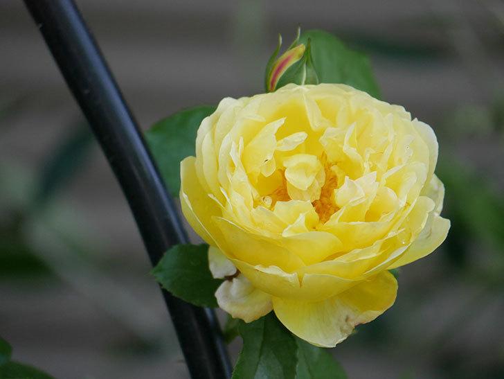 シャトー・ドゥ・シュベルニー(Chateau de Cheverny)の花が咲いた。半ツルバラ。2021年-010.jpg