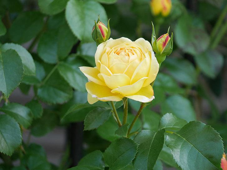 シャトー・ドゥ・シュベルニー(Chateau de Cheverny)の花が咲いた。半ツルバラ。2021年-011.jpg