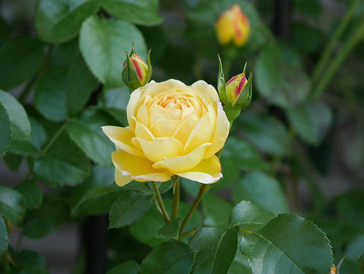 シャトー・ドゥ・シュベルニー(Chateau de Cheverny)の花が咲いた。半ツルバラ。2021年-012.jpg