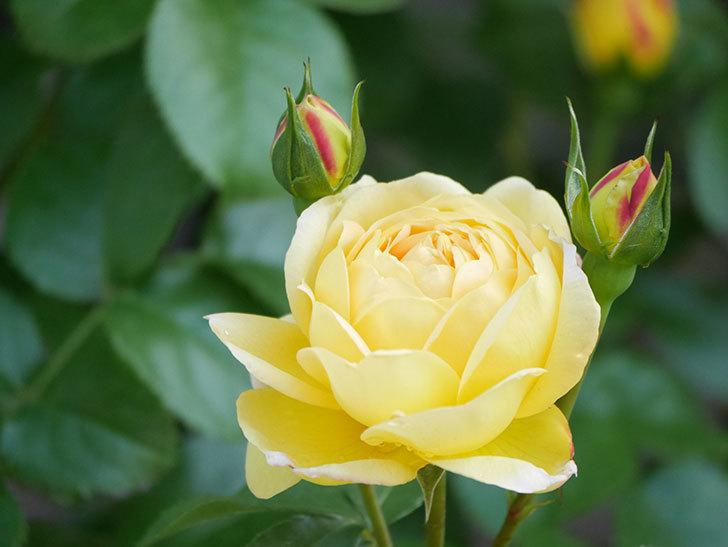 シャトー・ドゥ・シュベルニー(Chateau de Cheverny)の花が咲いた。半ツルバラ。2021年-013.jpg