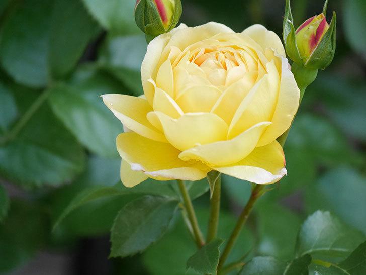シャトー・ドゥ・シュベルニー(Chateau de Cheverny)の花が咲いた。半ツルバラ。2021年-014.jpg