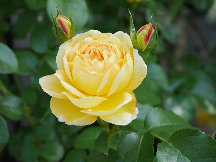 シャトー・ドゥ・シュベルニー(Chateau de Cheverny)の花が咲いた。半ツルバラ。2021年-016.jpg