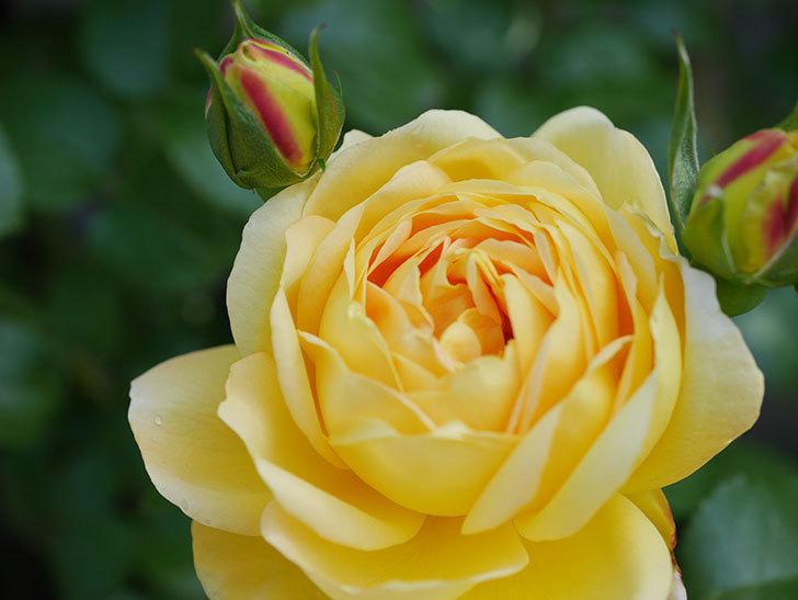 シャトー・ドゥ・シュベルニー(Chateau de Cheverny)の花が咲いた。半ツルバラ。2021年-018.jpg